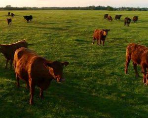 vacas en baja mas color y chica